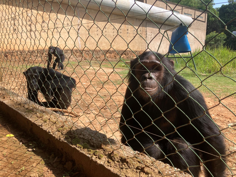 rdc - chimpanzes - jack