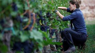 预计2018年法国葡萄酒丰收