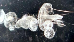 La piqûre de la pelagia noctiluca entraîne des brûlures, des crises d'asthme et d'allergie.