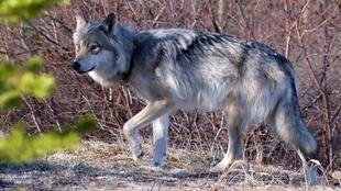 A grey wolf, the species that was spotted in the southwestern French department of Charente on Monday.