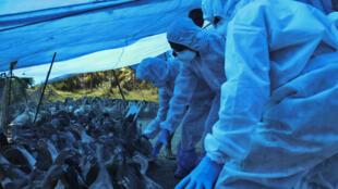Grippe aviaire Inde H5N8 Kerala janvier 2021