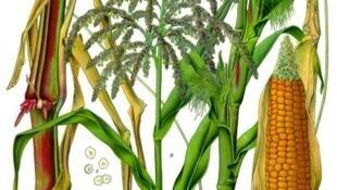 Ilustración de la planta de maíz de la guía alemana de Franz Eugen Köhler publicada en 1887 y célebre por la calidad de sus ilustraciones gráficas hechas por L. Muëller y C.F. Schmidt.