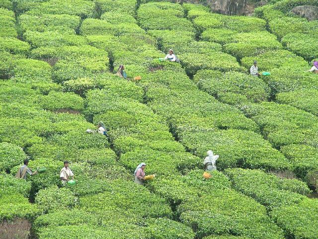 A tea plantation in Munnar in the Idukki district