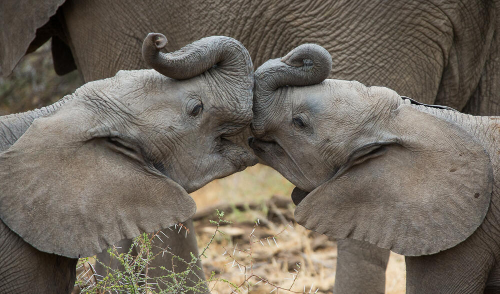 Two young African elephants (Loxodonta africana) kissing at the Mashatu Game Reserve in Botswana.