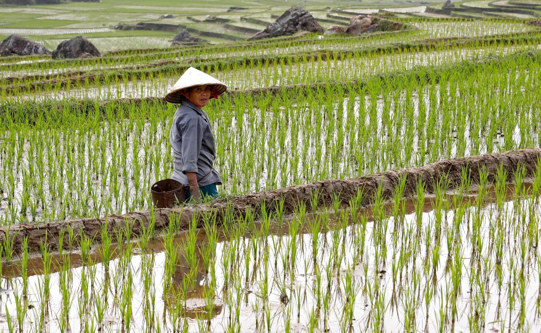 Une agricultrice dans une rizière en terrasses à Pu Luong, au Vietnam.