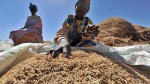 Les récoltes s'achèvent avec des tonnages en hausse en particulier au Mali : 1,7 millions de tonnes, au Sénégal photo : 665 000 tonnes et au Nigeria 3 millions de tonnes, grâce à l'abondance des pluies.