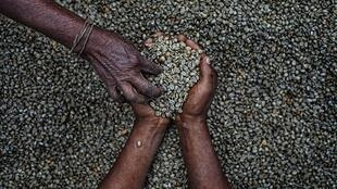 La superficie cultivée du café est estimée à 38 000 hectares au Togo et l'on projette atteindre 15 000 tonnes d'ici 2020.