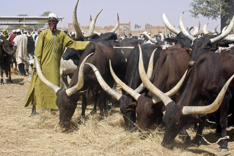 Zébus sur un marché au Niger (photo d'illustration).