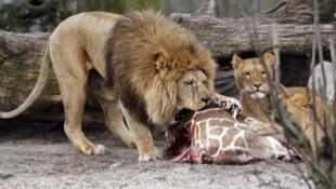 Leões do zoológico de Copenhague comem restos do filhote de girafa Marius que foi sacrificado no mês de fevereiro