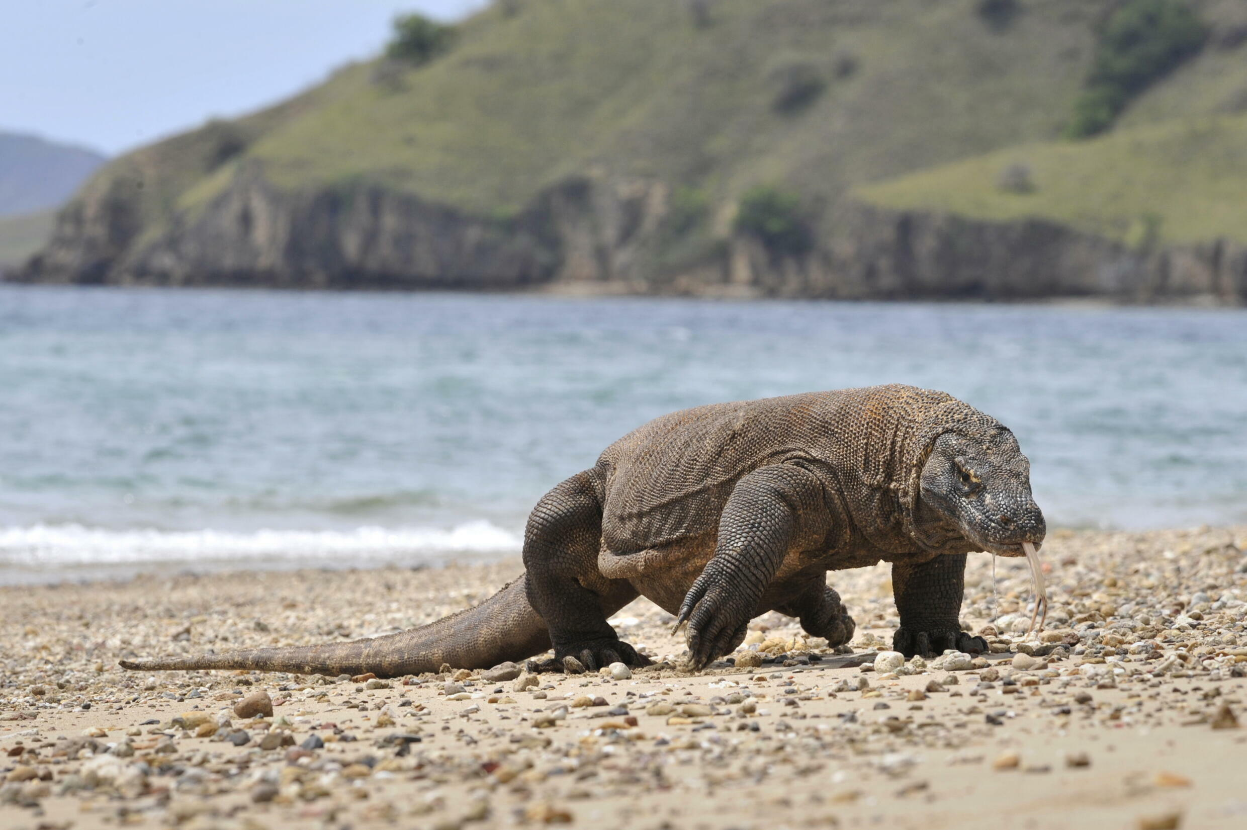 At least 30 percent of the Komodo dragon's habitat is projected to be lost in the next 45 years
