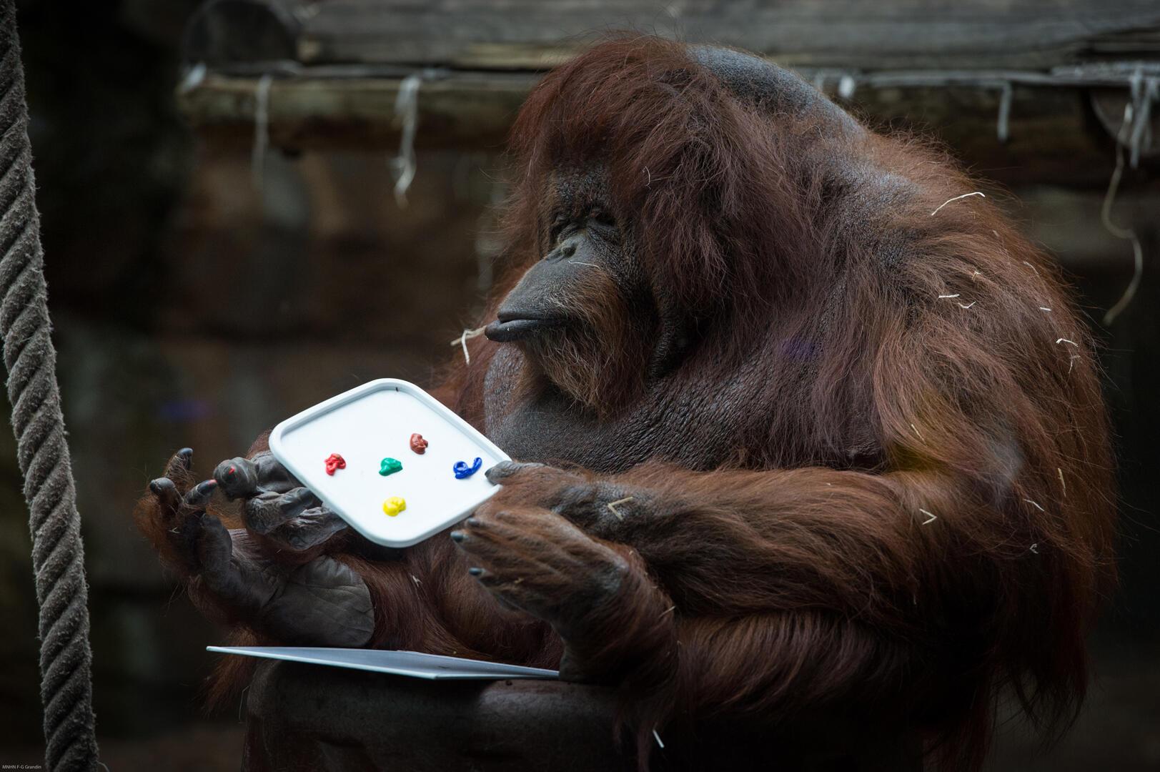 À 50 ans, un âge avancé pour un orang-outan en captivité, Nénette demande une attention toute particulière.