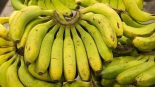Le chlordécone a été utilisé dans les bananeraies de la Guadeloupe et de la Martinique, de 1972 à 1993.