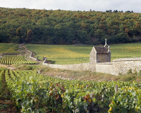 Le vignoble de Clos St Jacques, à Gevrey-Chambertin (Côte d'Or).