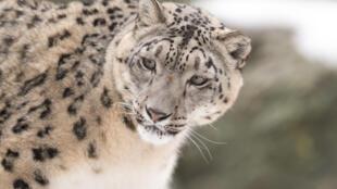 O leopardo-das-neves (Panthera uncia)