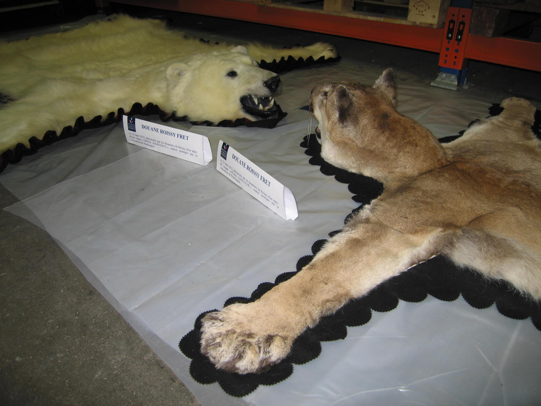 Aucun justificatif d'accompagnement n'ayant été fourni pour ces deux spécimens d'ours polaire et de cougar, ils ont été saisis et seront légués à un musée ou une association.