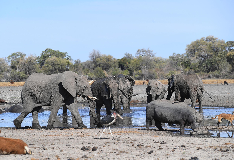 Botswana is home to some 130,000 elephants