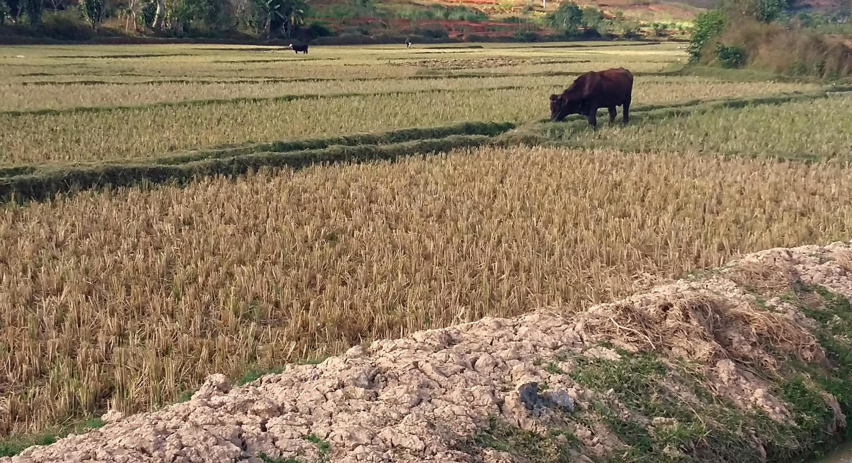 Dans les rizières malgaches, les pieds de riz coupés à ras ont remplacé les longues tiges verdoyantes et bien garnies encore visibles ces dernières semaines.