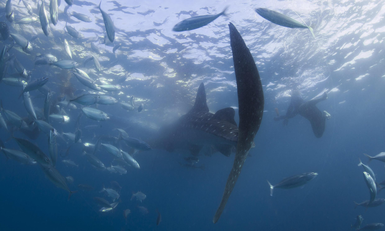 Brasil é um dos países que mais caçam tubarões, mas é favor da proibição.