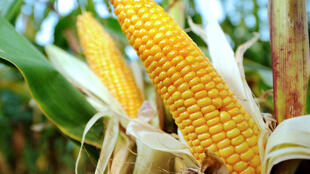 A photo of Monsanto's MON 810 maize. Authorized in 1998, commercial use of the genetically modified crop remains frozen