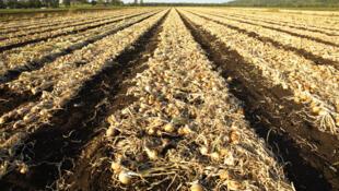 Les autorités sénégalaises gèlent les importations d'oignons pour favoriser la production nationale.