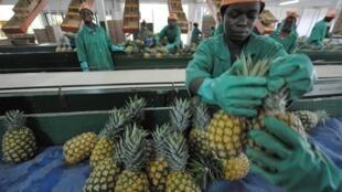 Dans une plantation de d'ananas à Aboisso, à 100 kilomètres à l'est d'Abidjan en Côte d'ivoire