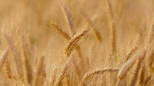 On retrouve le gluten notamment dans plusieurs céréales et notamment le blé