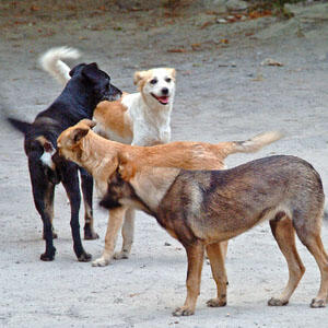 Cães vadios