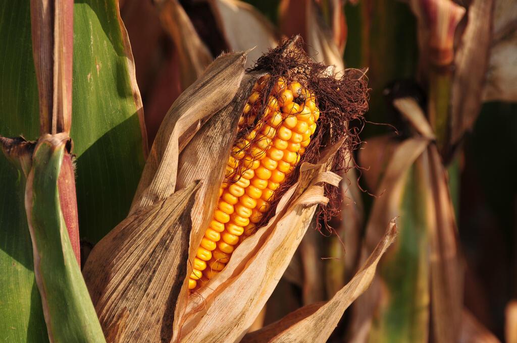 Mau tempo afetou produção de milho em várias regiões do mundo.