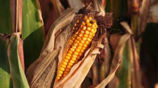 Cultivo de milho trangênico.