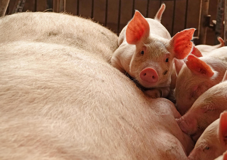 Một trại nuôi lợn tại Chu Khẩu (Zhoukou), tỉnh Hà Nam (Henan), Trung Quốc, ngày 03/06/2018.