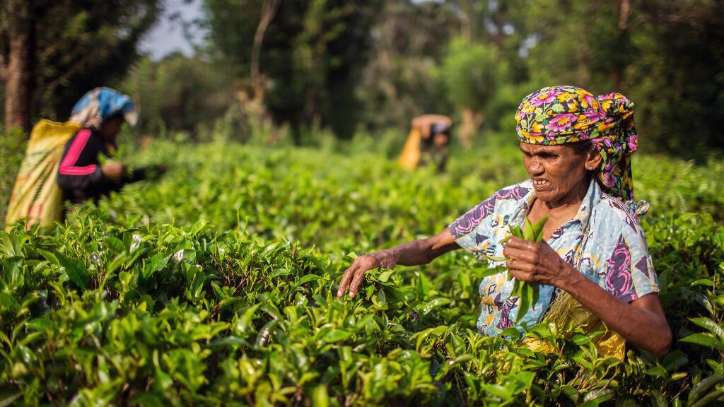 Des travailleuses dans une plantation de thé au Sri Lanka. (Image d'illustration)