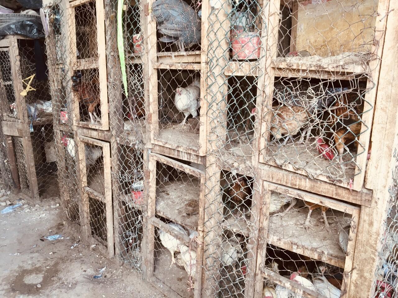 aviculture poulet poule senegal volaille marché dakar