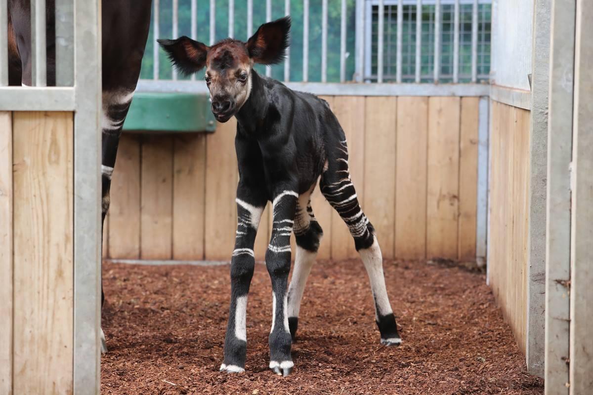 По словам сотрудников зоопарка, новорожденный как две капли воды похож на свою маму