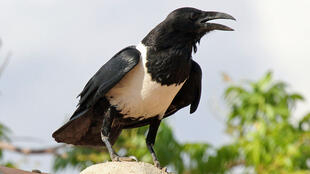 Pied crows are extending their range due to climate change_Pic credit Dick Daniels_Wikimedia Commons