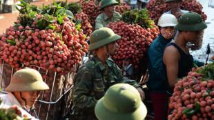 Quả vải Việt Nam đang tìm cách mở rộng thị trường xuất khẩu.