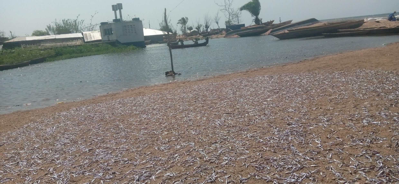 Kalemie, sechage des fretin sur la plage