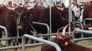 Exposition de race bovine Salers dans le Hall 1, Parc des Expositions à Clermont-Ferrand.