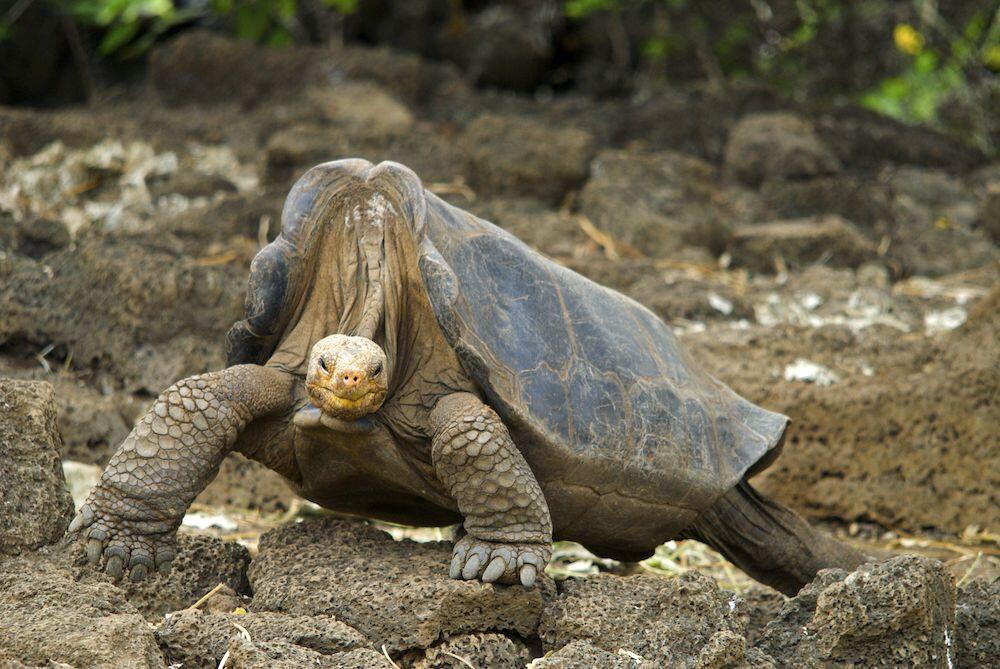Pinta_Island_Tortoise_Lonesome_George_2008