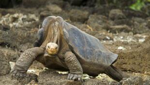 Este ejemplar de tortuga gigante de la Isla de Pinta (chelonoidis nigra abigdoni), llamado el Solitario George, murió en 2012.