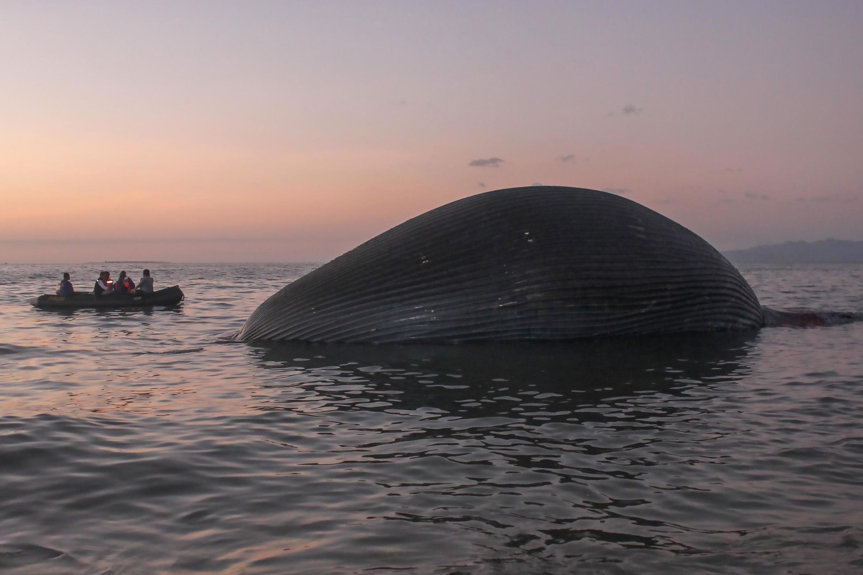 Le cadavre de la baleine a été repéré près de la côte de Kupang, sur l'île du Timor, le 21 juillet.
