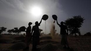 Des femmes maliennes récoltant le millet.