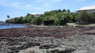 Une plage martiniquaise envahie de sargasses.
