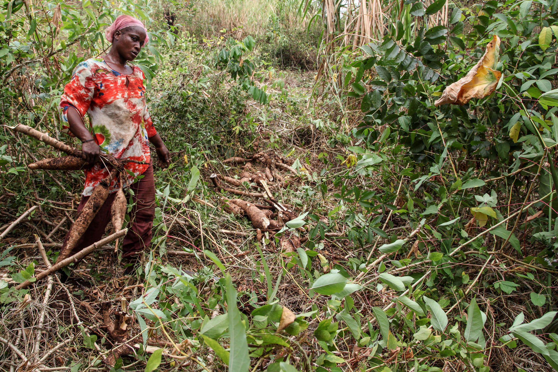 Une agricultrice récolte des racines de manioc, dans la région de Man, dans l'ouest de la Côte d'Ivoire.
