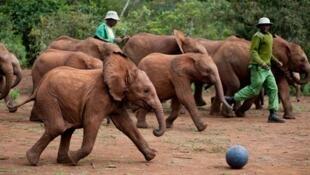 130 éléphanteaux ont déjà été sauvés par l'orphelinat du David Sheldrick WildlifeTrustj au Kenya.