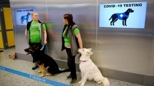 Chiens spécialement dressés pour renigler les personnes positives au Covid-19, à l'aéroport d'Helsinki, le 22 septembre.