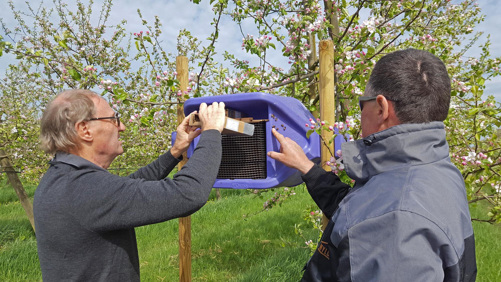 Franck Mariambourg installe des abeilles sauvages dans un abri de substitution sous le contrôle de l'arboriculteur Hubert Corpet.