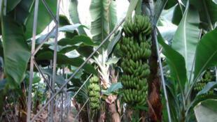 VIII Foro Internacional del Banano en Guayaquil (Ecuador)