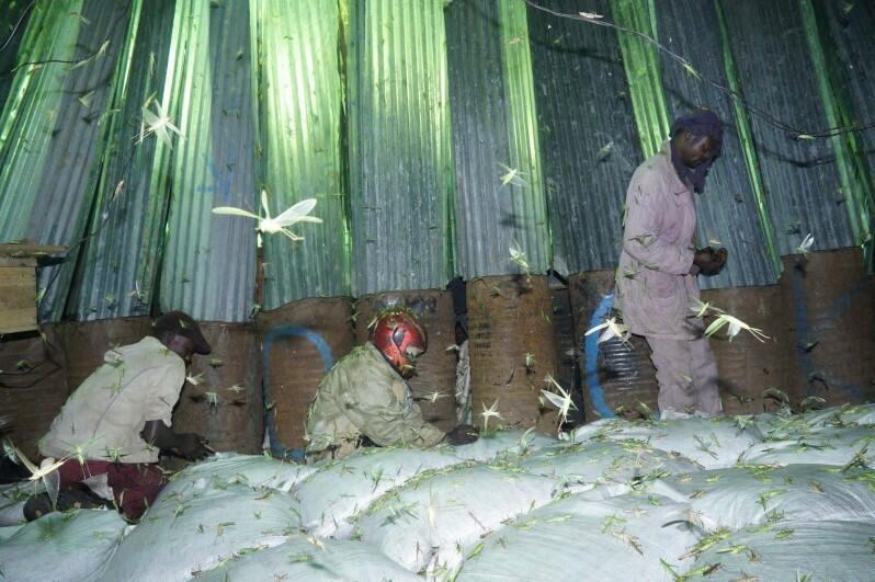 Grasshopper hunters fill large white bags with the lucrative green insects which they then sell in a special market in the capital Kampala
