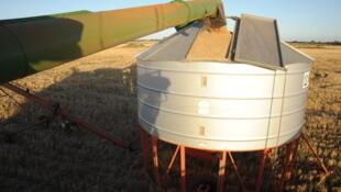 Une moissonneuse-batteuse déleste du blé dans un silo près de Balliang, au sud-ouest de Melbourne, le 19 janvier 2012.