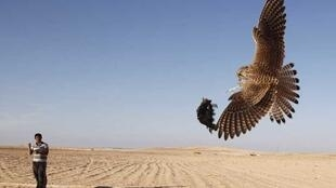 A Bedouin practices falconry using bait attached to a falcon to catch other free falcons during the hunting season in central Sinai